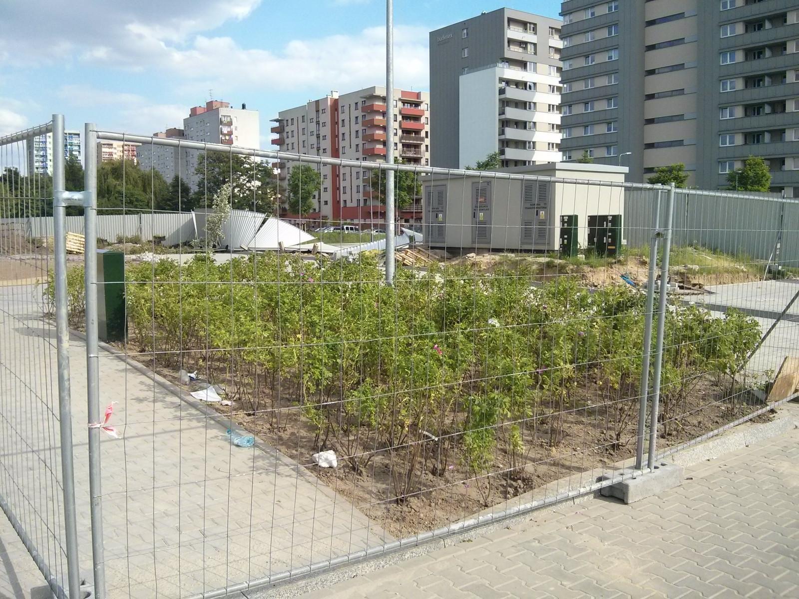 Budimex sadzi róże na zieleńcu osiedla Avia 4 w Krakowie